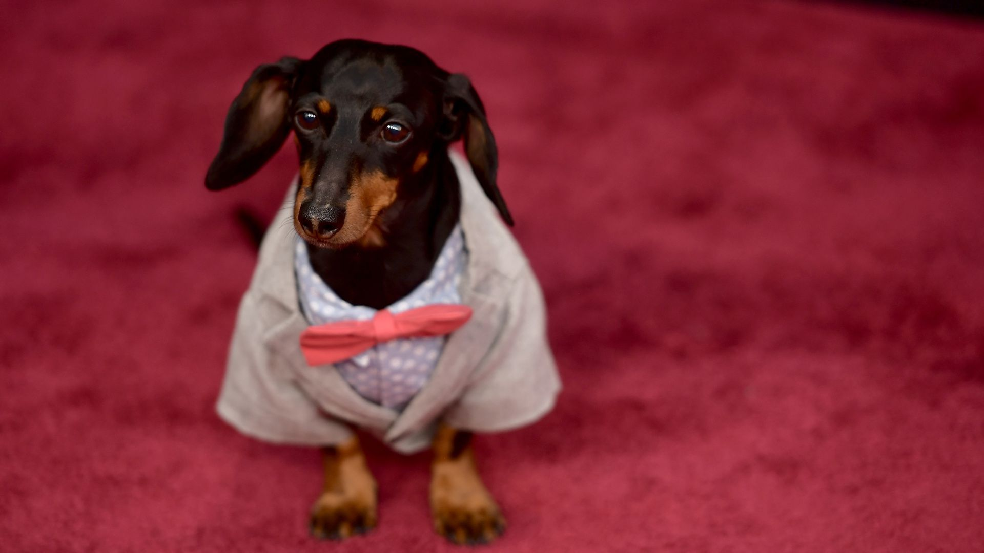 Dachshund squad has epic pool party set to OMI's 'Cheerleader'