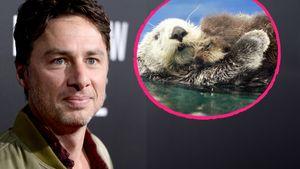 Süßes Otter-Rätsel: Hat Zach Braff eine geheime Liebe?