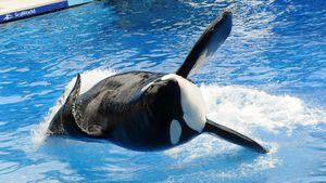 "Tilikum ist tot: Der berühmte ""Blackfish""-Orca stirbt mit 36"