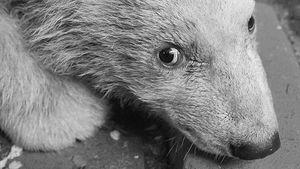Eisbär-Baby Fritz im Berliner Tierpark