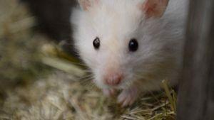Hamster-Quälerei! PETA prangert Promi-BB an