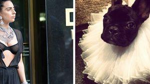 Nicht tiergerecht! PETA kritisiert GaGas Hundewahn