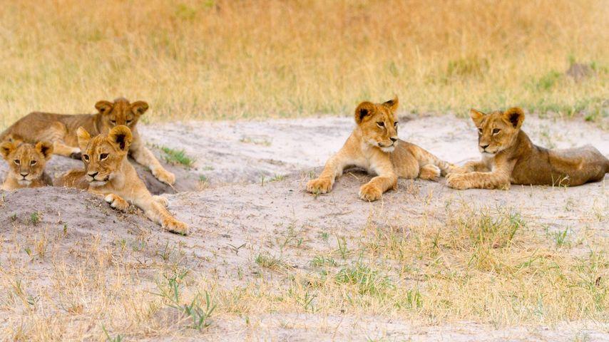 Schock um Löwen-Familie: Auch Cecils Bruder ist jetzt tot