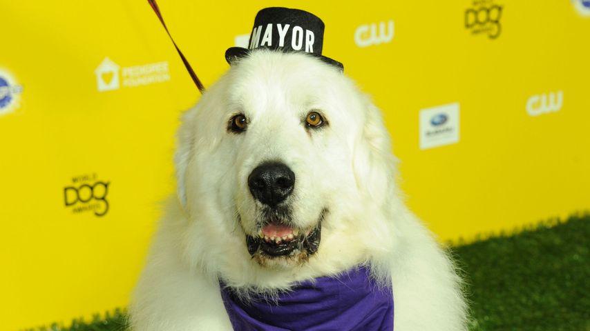 Tierischer Bürgermeister: Kult-Hund Duke the Mayor gestorben