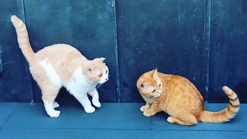 Ed Sheerans Katzen Calippo und Dorito