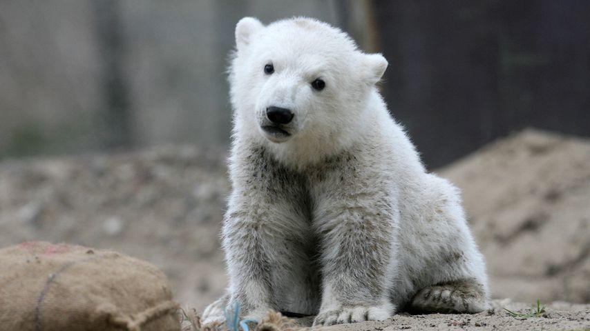 Eisbär Knut im April 2017