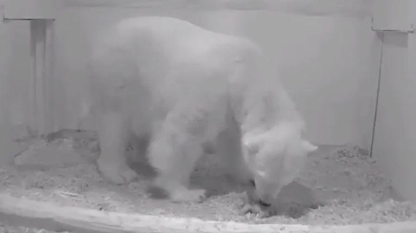 Eisbärin Tonja und ihr Baby