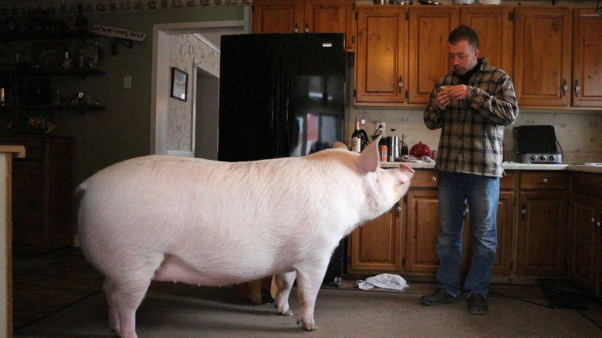 300-Kilo-Sau: Esther the Wonder Pig wird Social-Media-Star!