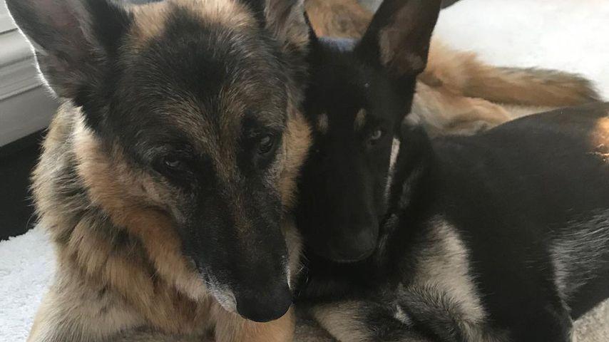 Joe Bidens Hunde Champ und Major, 2019