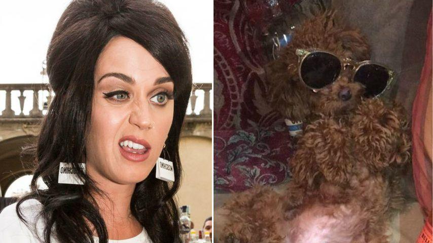 Katy Perrys böser Verdacht: Ist ihr Hund Nugget ein Junkie?