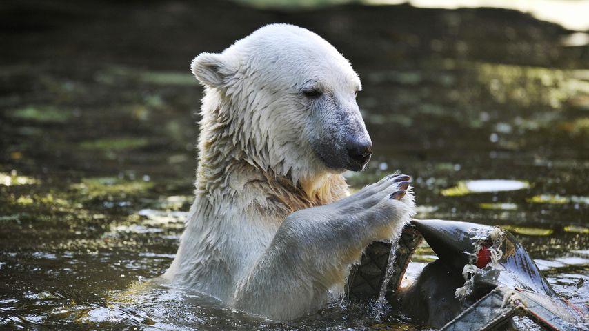 Eisbär Knut im Juli 2009
