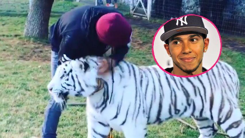 Wie im Zirkus! Lewis Hamilton rangelt mit gefährlichem Tiger