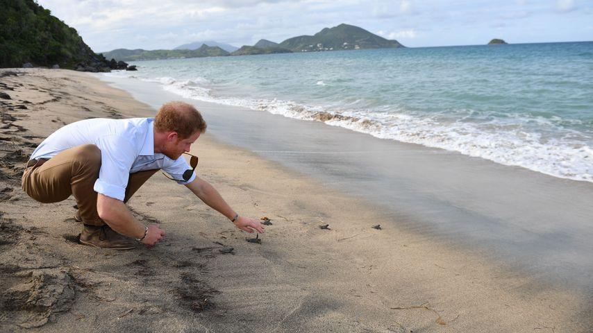 Echt tierlieb: Prinz Harry hilft süßen Baby-Schildkröten!