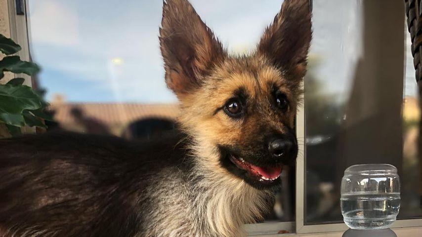Ranger, Schäferhund