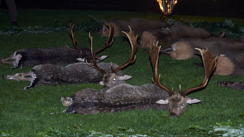 Tote Rentiere nach royaler Jagd in Fredensborg
