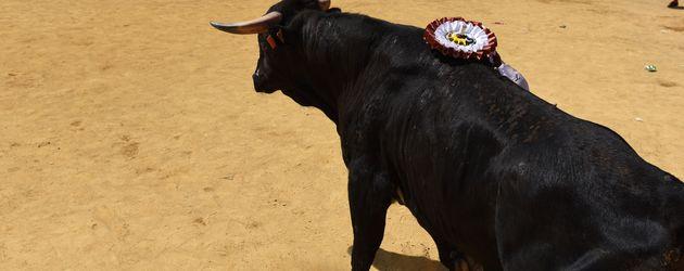 Stier beim Stierkampf in Spanien